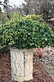 HEDERA IN LARGE UPRIGHT CONTAINER,  WINTER.