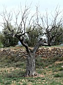 OLEA EUROPAEA,  DEAD OLIVE TREE,  SPAIN