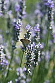 LAVANDULA WITH POLYOMMATUS ICARUS,  COMMON BLUE BUTTERFLY