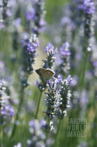 LAVANDULA_WITH_POLYOMMATUS_ICARUS__COMMON_BLUE_BUTTERFLY