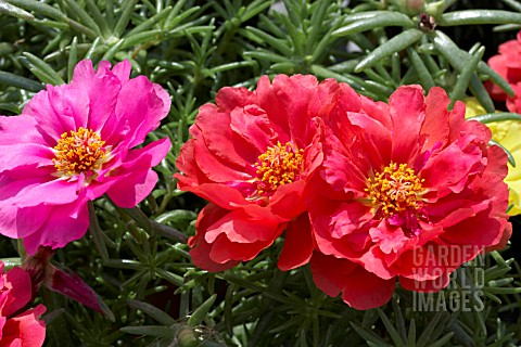PORTULACA_MIXED