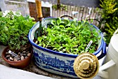 ORGANIC VEGETABLES AND HERBS GROWING ON WINDOW SILL