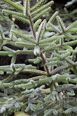 ABIES_PINSAPO_SPANISH_FIR