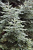 ABIES PINSAPO, SPANISH FIR
