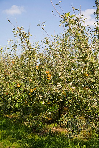 ORGANIC_COX_APPLE_ORCHARD_IN_SEPTEMBER
