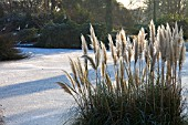 CORTADERIA SELLOANA GROWING ON BANK OF FROZEN LAKE, WAKEHURST PLACE WEST SUSSEX