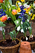 GALANTHUS ELWESII RGM, IN SMALL WICKER BASKETS, BLUE HYACINTHS, TULIPA ALEPPO AND NARCISSUS PAPERWHITE AND MINIATURE GRAND SOLEIL DOR