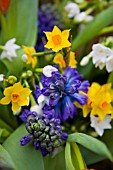 BLUE SCENTED HYACINTHS, NARCISSUS GRAND SOLEIL DOR AND PAPERWHITE