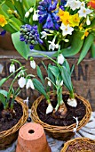 GALANTHUS ELWESII, BLUE HYACINTHS WITH NARCISSUS GRAND SOLEIL DOR AND PAPERWHITE
