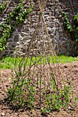 BAMBOO PYRAMID SUPPORTING LATHYRUS, SWEET PEAS