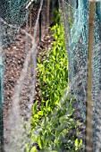 WIRE MESH COVERING PEAS