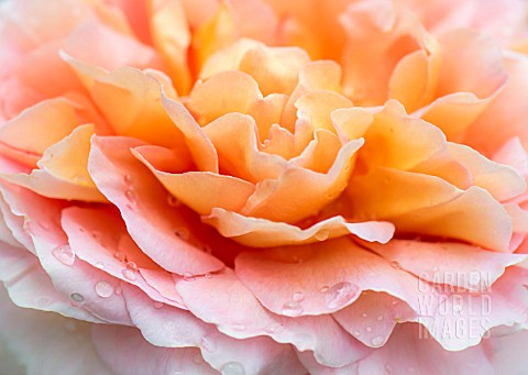 ROSA_ABRAHAM_DARBY