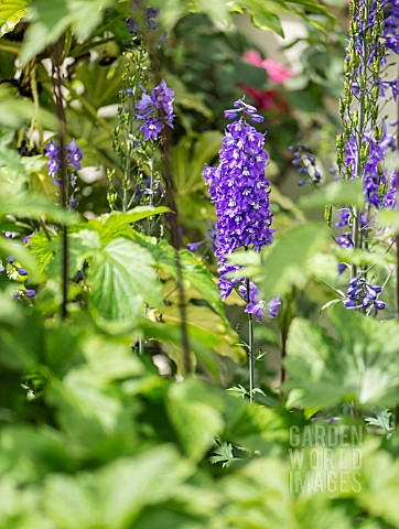 DELPHINIUM_IN_A_COTTAGE_GARDEN_BORDER