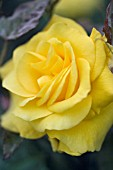 ROSA GOLDEN WEDDING