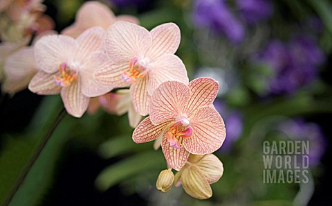 PHALAENOPSIS_BROTHER_SHOWPIECE_MOTH_ORCHID
