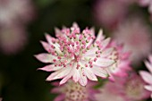 ASTRANTIA MAJOR PINK LADY (GREATER MASTERWORT)