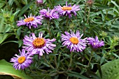 ASTER NOVAE ANGLIAE MRS S T WRIGHT,  NEW ENGLAND ASTER