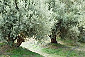 OLEA EUROPAEA,  OLIVE TREE,  WITH COLLECTING NETS FOR OLIVES