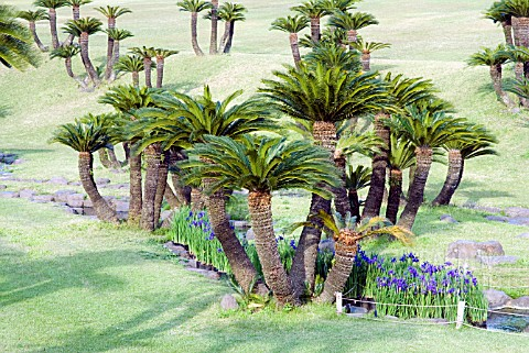 CYCAS_REVOLUTA__YOSHINO_PARK__KAGOSHIMA__JAPAN__JAPANESE_SAGO_PALM_WITH_IRIS_ENSATA