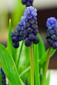 MUSCARI LATIFOLIUM BLUE ANGELS