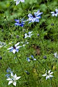 NIGELLA DAMASCENA,OXFORD BLUE