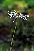 ASTER DIPLOSTEPHIOIDES, CREEPING ASTER
