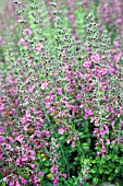 TEUCRIUM CHAMAEDRYS, (WALL GERMANDER)