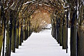 LABURNUM ARCH IN WINTER