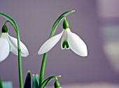 GALANTHUS BACKHOUSE SPECTACLES