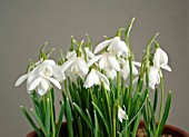 GALANTHUS NIVALIS POCULIFORMIS GROUP WEDDING DRESS