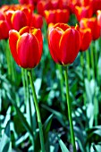 TULIPA WORLDS FAVOURITE