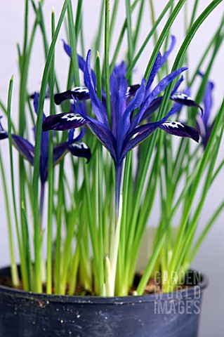 IRIS_RETICULATA_BLUE_NOTE