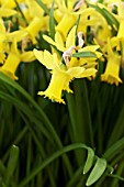 NARCISSUS BETTY MAE
