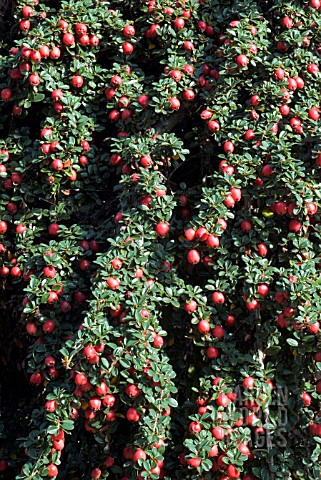 COTONEASTER_COCHLEATUS