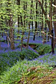 BLUEBELLS IN THE WILD,   HYACINTHOIDES NON SCRIPTA.