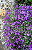 AUBRETIA. AUBRETA X CULTORUM J.S.BAKER. GROWING OUT OF STONE WALL.