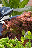 MIXED FORCED YOUNG VEGETABLE AND HERB PLANTS ON DISPLAY,   LETTUCE VARIETY LOLLO ROSSO