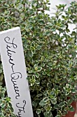 THYMUS SILVER QUEEN,  VARIEGATED WITH HANDWRITTEN LABEL,  THYME