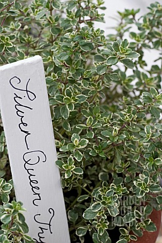THYMUS_SILVER_QUEEN__VARIEGATED_WITH_HANDWRITTEN_LABEL__THYME