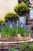 MUSCARI ARMENIACUM GROWING IN WOODEN BOX,  GRAPE HYACINTH.