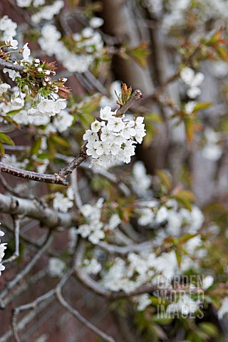 ESPALIERED_CHERRY_TREE_AGAINST_WALL__SPRINGTIME_BLOSSOM