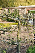 OLD APPLE TREE TRAINED AGAINST WIRE SUPPORT.  BARE STEMMED TO SHOW DETAIL OF PRUNING.