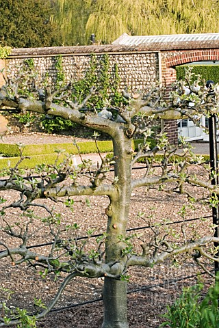 OLD_APPLE_TREE_TRAINED_AGAINST_WIRE_SUPPORT__BARE_STEMMED_TO_SHOW_DETAIL_OF_PRUNING