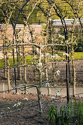 OLD_APPLE_TREE_TRAINED_AGAINST_WIRE_SUPPORT_BARE_STEMMED_TO_SHOW_DETAIL_OF_CORRECT_PRUNING_WEST_DEAN