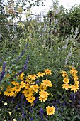 RUDBEKIA HIRTA PRAIRIE SUN CONTRASTING WITH  SALVIA ULIGINOSA. AUGUST BORDER,  WEST DEAN