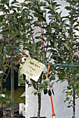 YOUNG APPLE TREES FOR SALE. WEST DEAN APPLE FESTIVAL