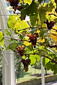 GRAPES RIPENING ON VINE IN VICTORIAN GLASSHOUSE. YOUNG FRUIT AT WEST DEAN