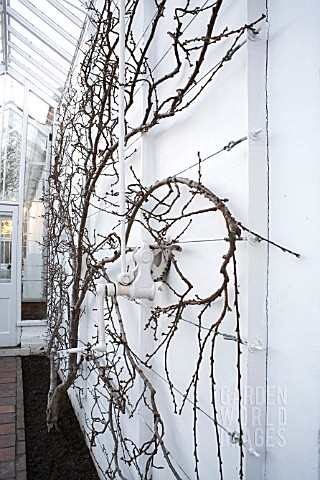 FAN_TRAINED_PEACH_TREE_BARE_LEAFED_IN_WINTER_IN_VICTORIAN_GLASSHOUSE_