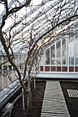 FAN TRAINED NECTARINE TREE. BARE LEAFED IN WINTER IN VICTORIAN GLASSHOUSE.