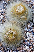CACTUS PARODIA CHRYSACANTHION SHOWING SEED PODS.